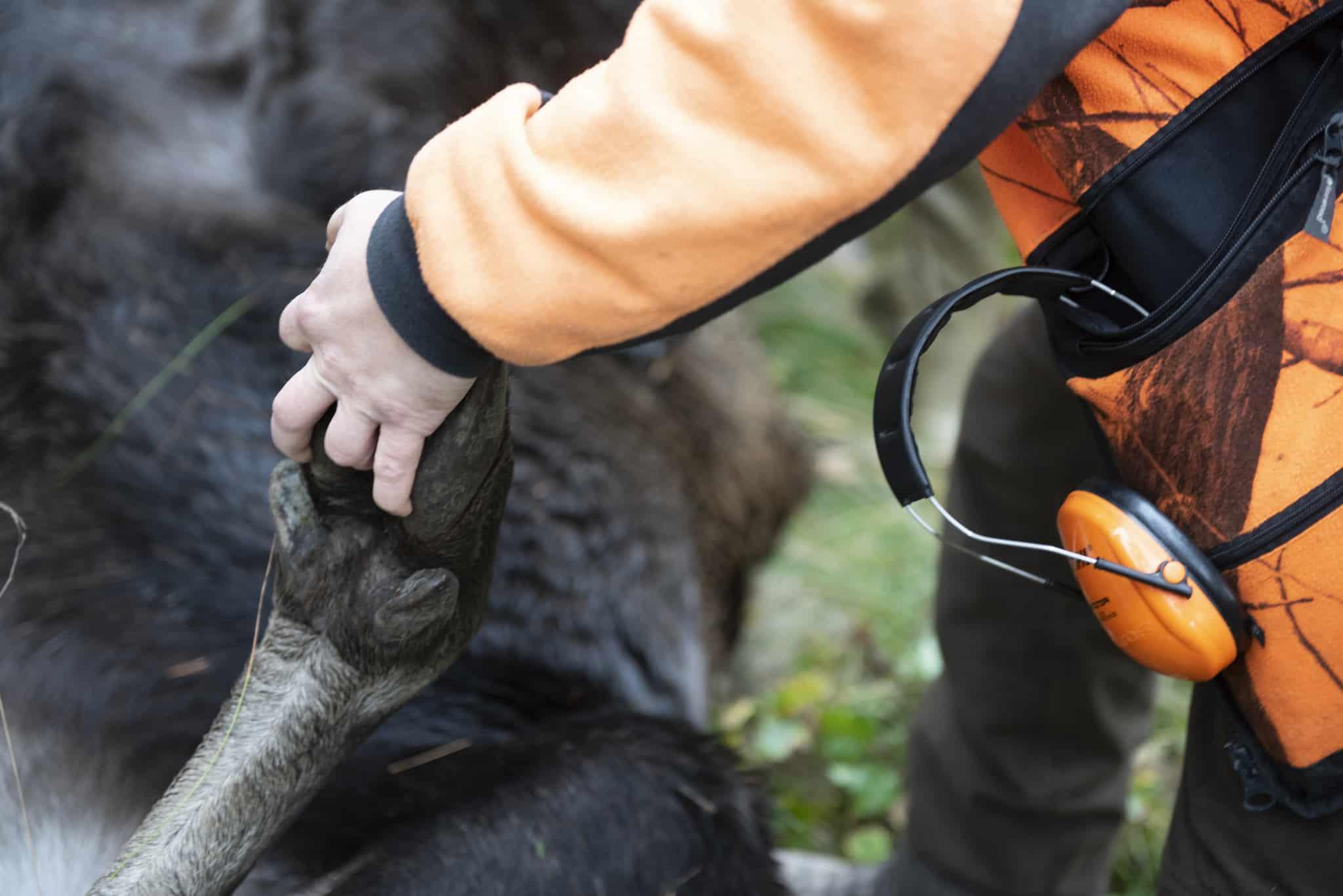 Skogsindustrierna, Sveaskog och Bergvik Skog föreslår utökad jakt på älg i hela landet i sitt förslag till Naturvårdsverket.