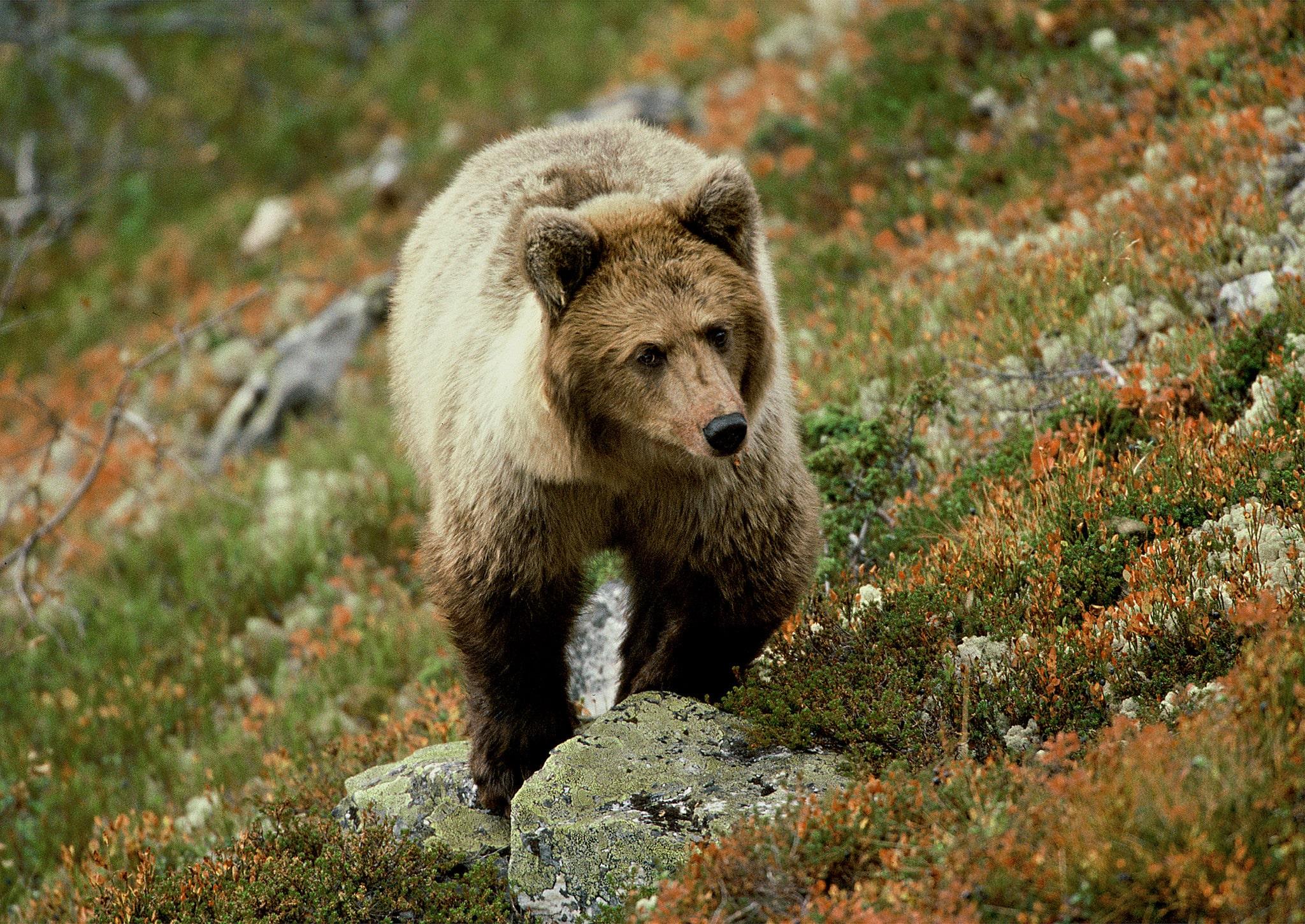 Jägareförbundet Västerbotten kommer fortsätta arbeta för att starten för björnjakten senareläggs så den sammanfaller med älgjaktspremiären.