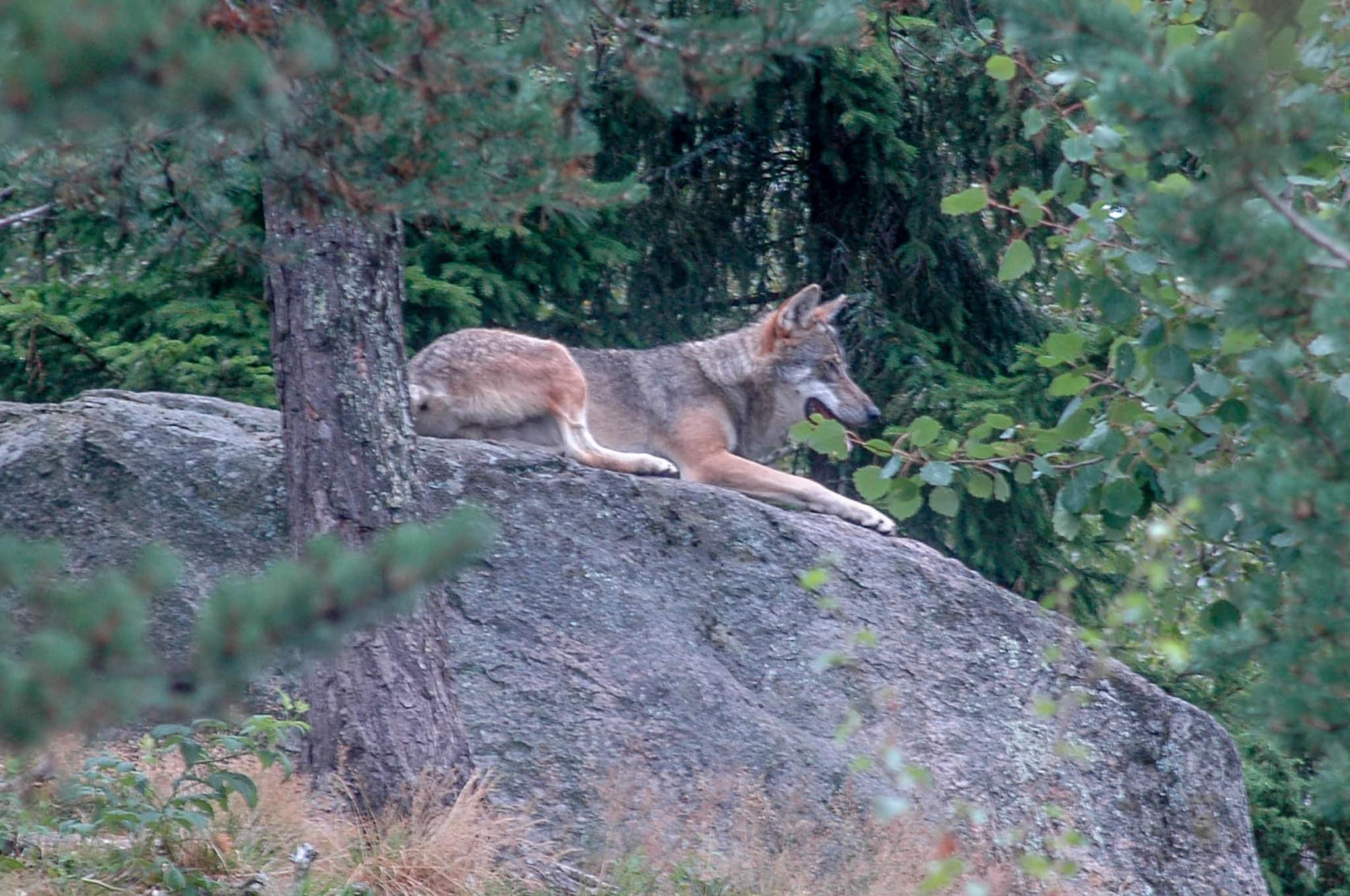 Ingen varg i Jämtland. Det kräver länsstyrelsen och Jägareförbundet. Naturvårdsverket tog nyligen beslut om att tillåta en vargföryngring i Jämtland.