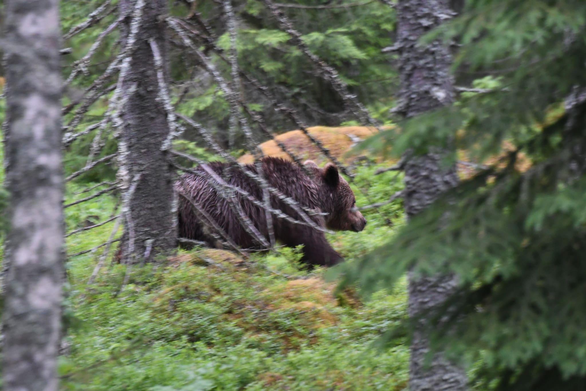 Björnjakten delas in i två perioder i Västerbottens län.