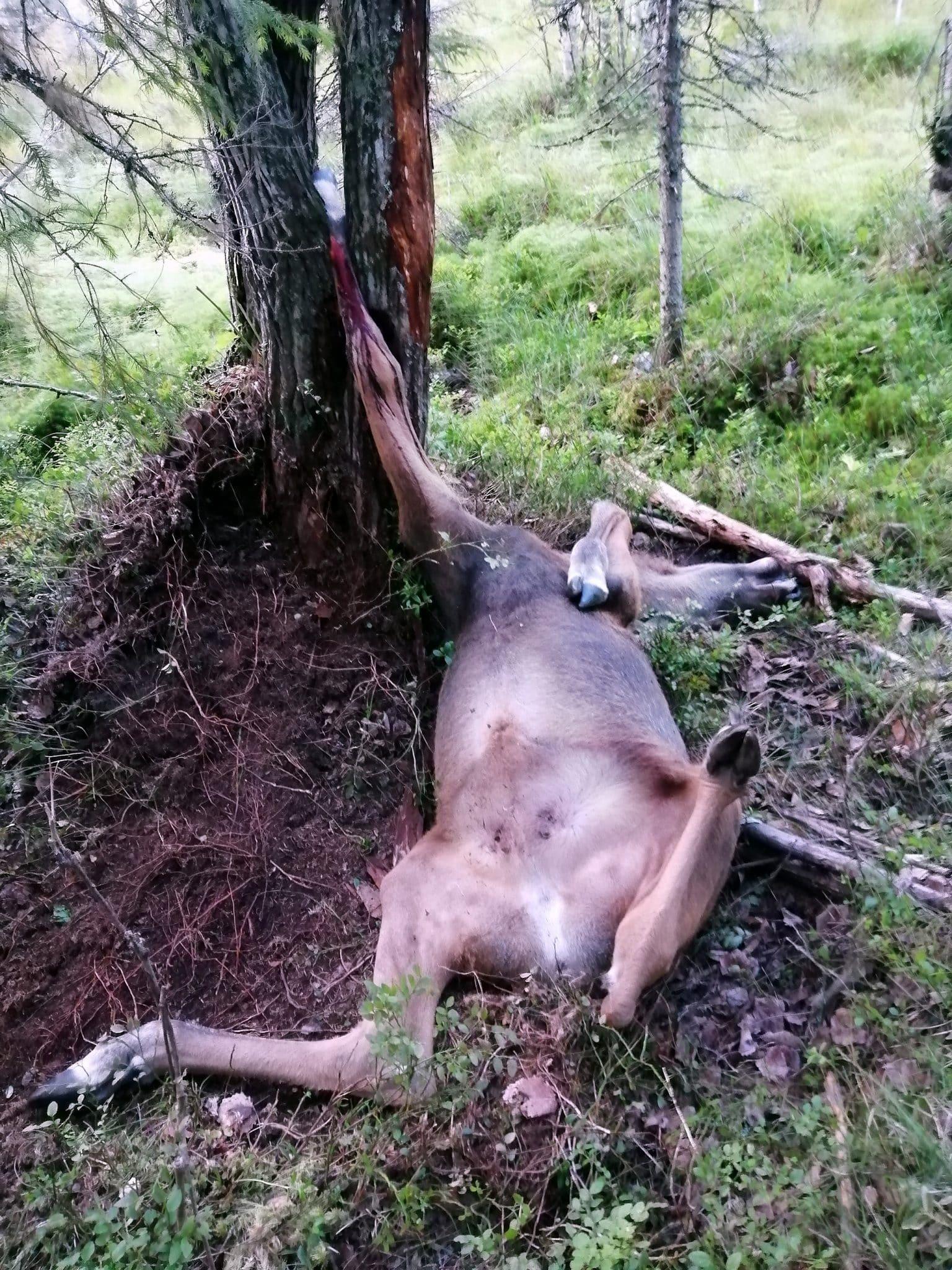 Tragedi i naturen. En älgkalv mötte en plågsam död sedan den fastnat i en klyka i en sälg.