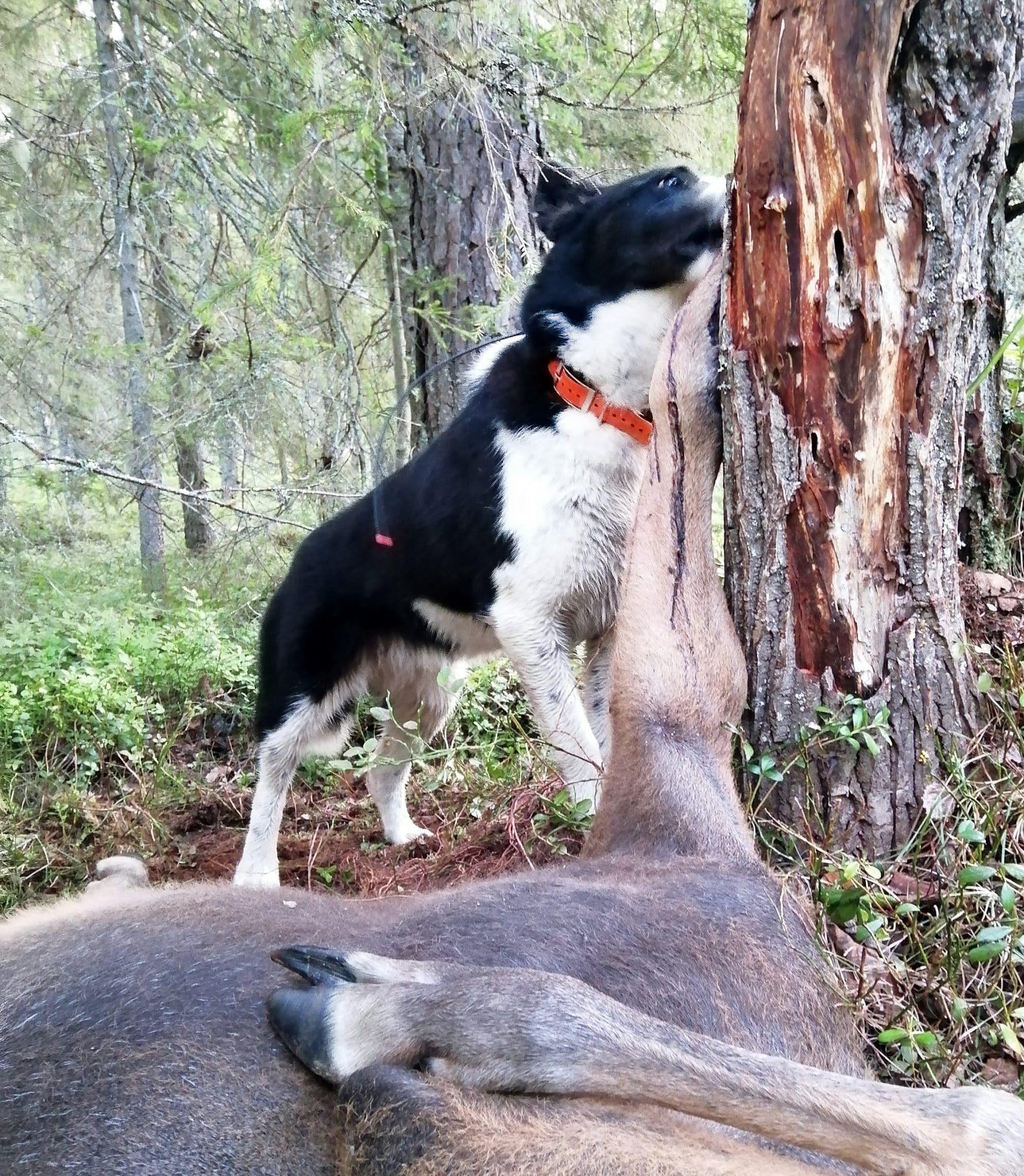 Det var den karelska björnhunden Kajza som hittade älgkalven, som enligt Björn Sundgren, inte varit död särskilt länge.