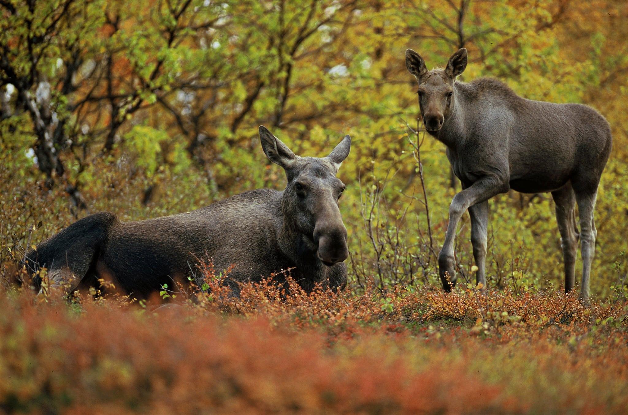 Finns det ovanligt få älgkalvar i år? Mycket tyder på det och nu vill Jägareförbundet ha jägarnas hjälp via älgobsen.