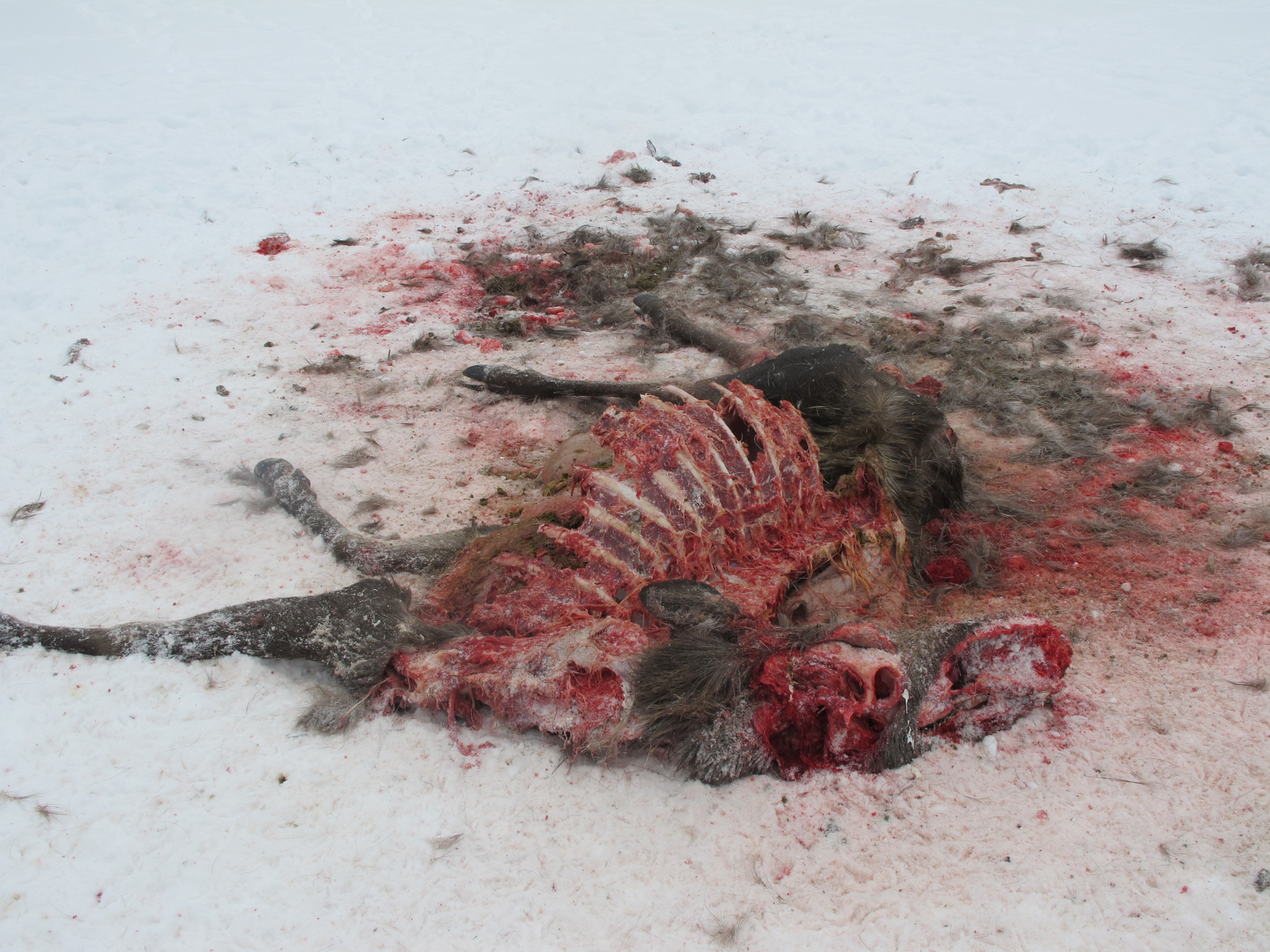 Älg dödad av varg.