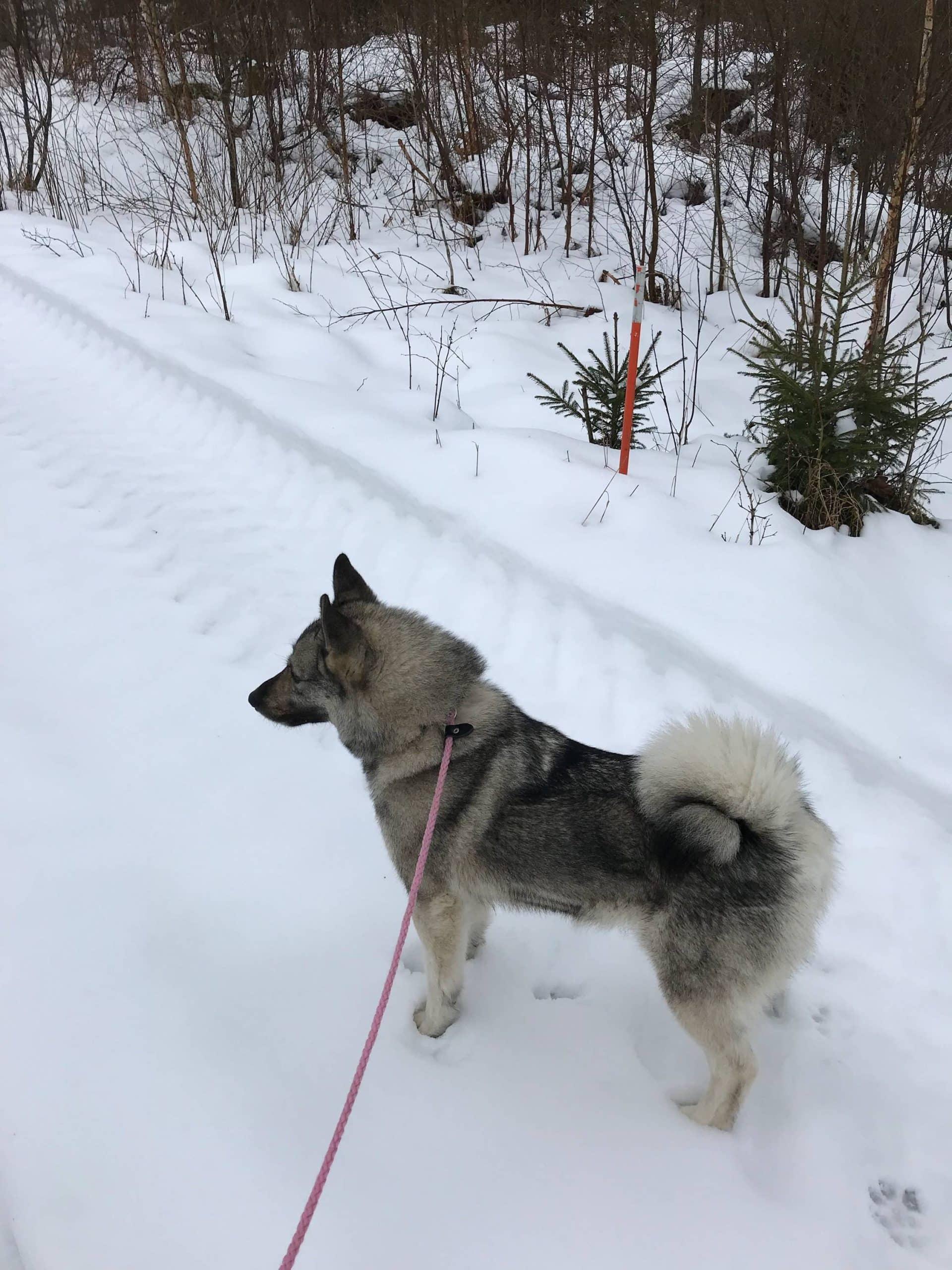 Gråhundsvalpar väntas v 17