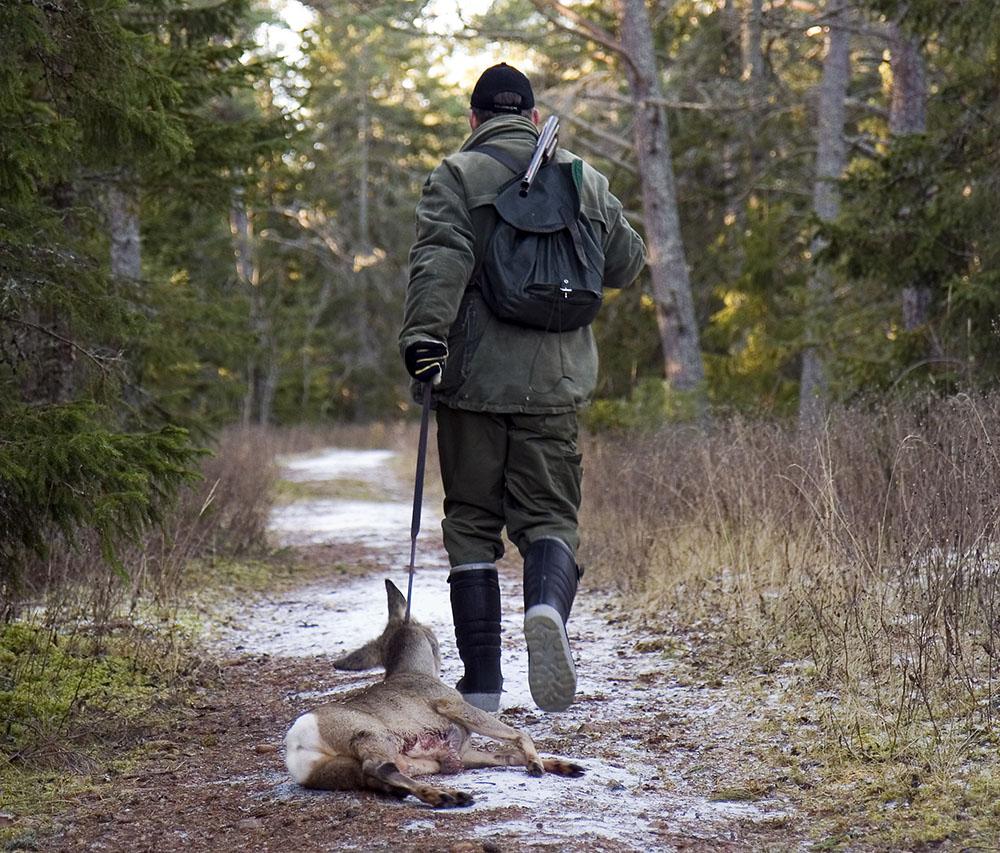 1 oktober inleds rådjursjakten med hund. Foto: Olle Olsson