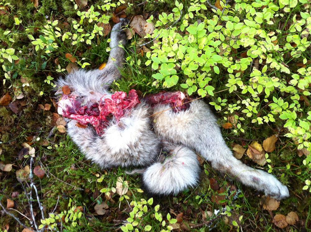 Gråhunden slets i stycken av vargarna. Foto: Boo Westlund