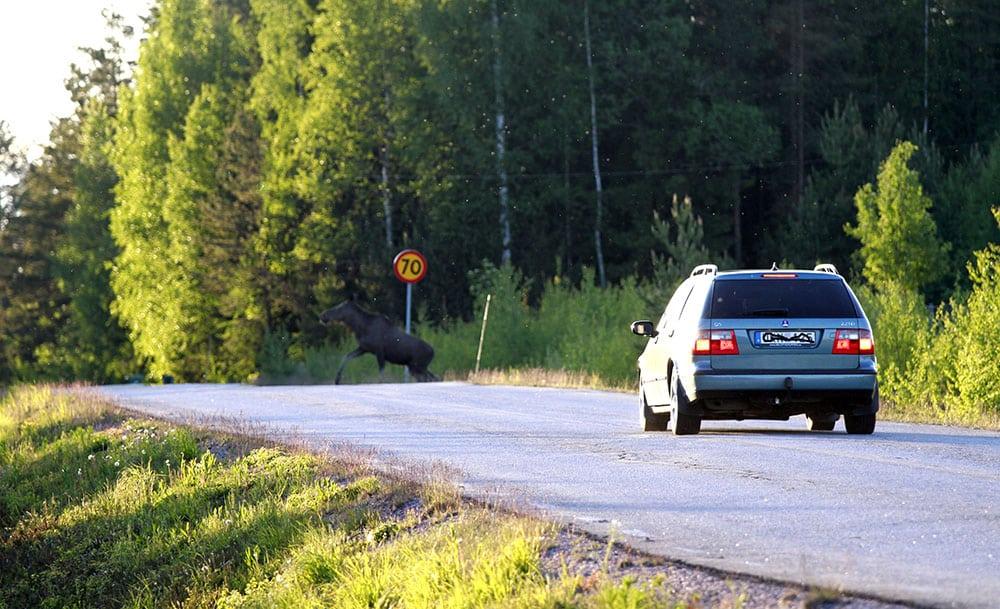 1,8 procent av alla bilresor i Kalmar län slutar med en viltolycka. Foto: Olle Olsson
