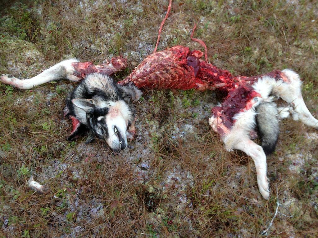 Det här är är resterna av en jaktchampion och en kär familjemedlem. Foto: Privat