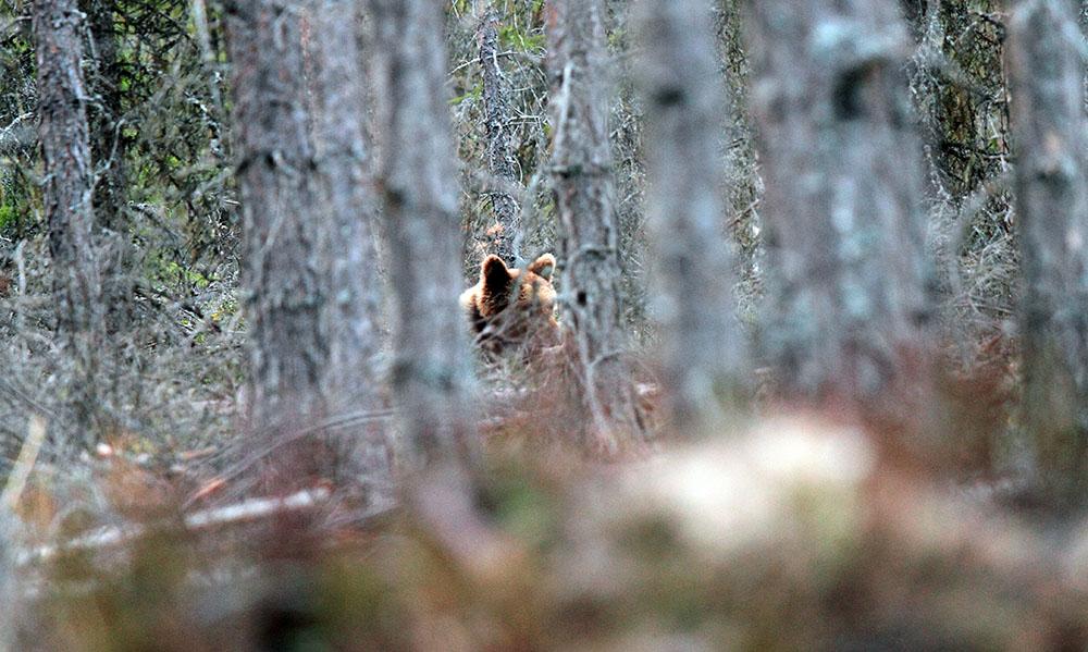 Tänk björn när älghunden skäller ståndskall. Foto: Olle Olsson