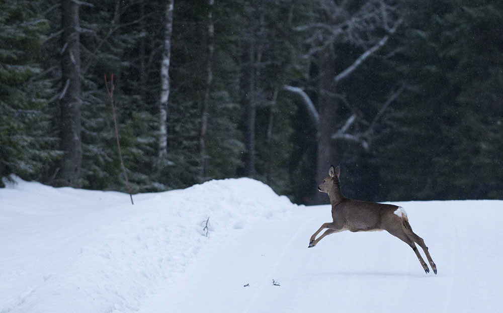Rådjuren blir fler på Gotland och antalet viltolyckor likaså. Foto: Jan Henricson
