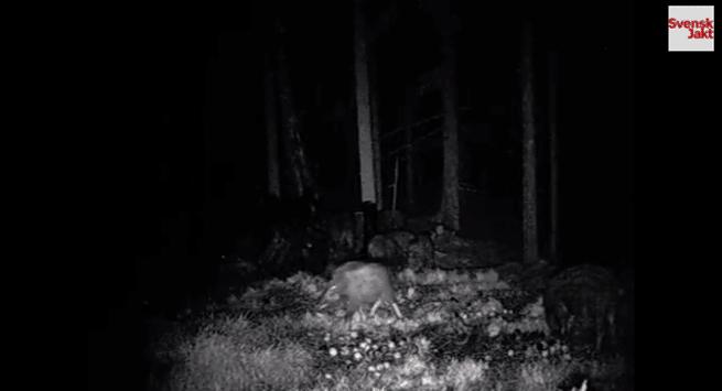 Stillbild ur filmen på det märkligt växta vildsvinet.