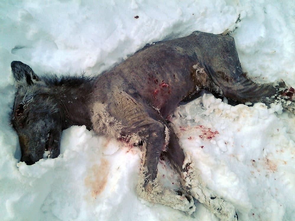 Den skabbangripna vargen som synts till i Forsed mellan Kramfors och Sollefteå sköts i morse. Foto: Edon Östlund