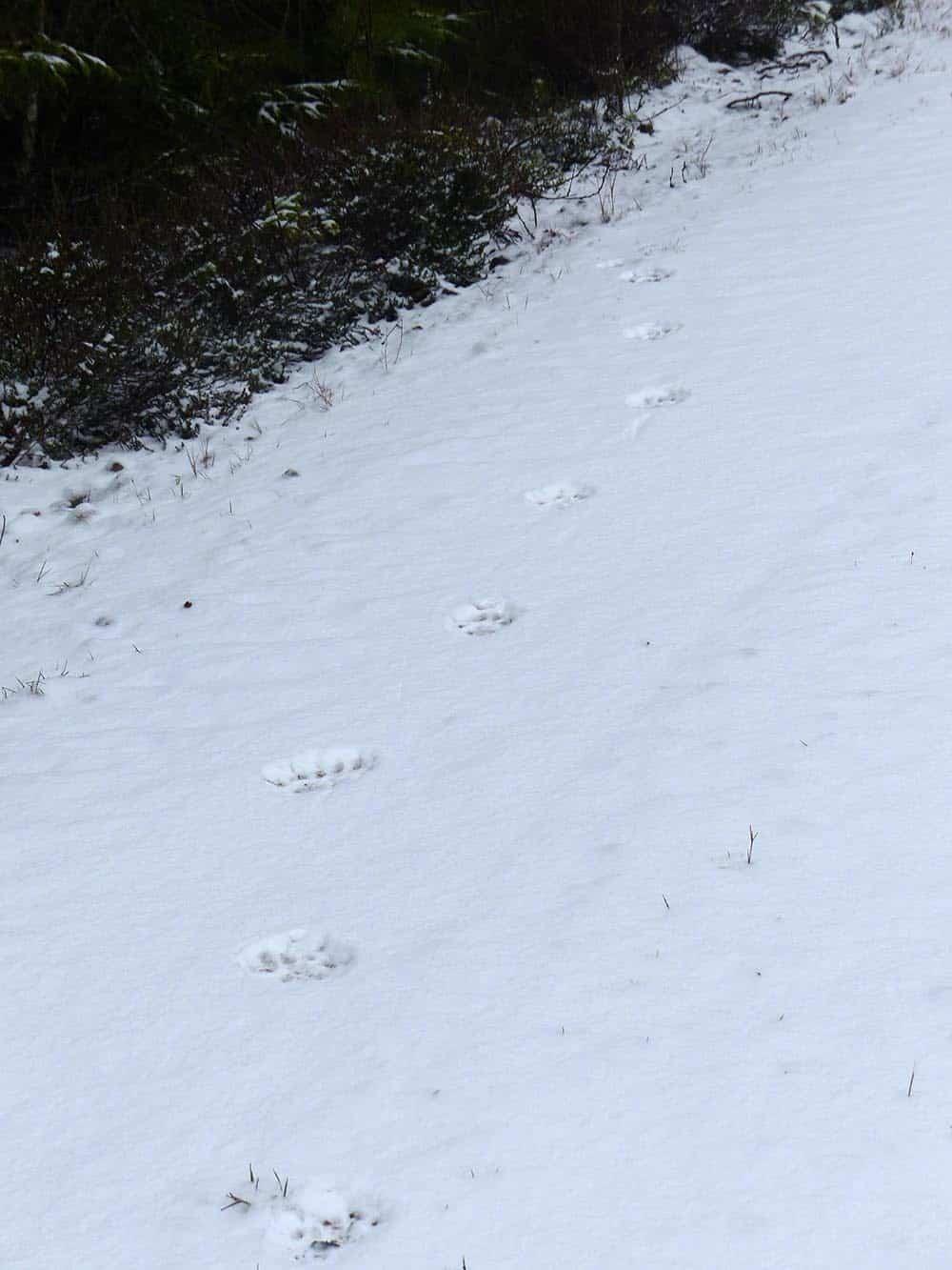 Lodjursspår säkrade i vinterns första snö. Foto: Bertil Nilsson