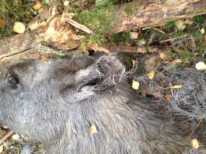 Trafikdödad älgko som hade deformerade öron. Foto: Privat