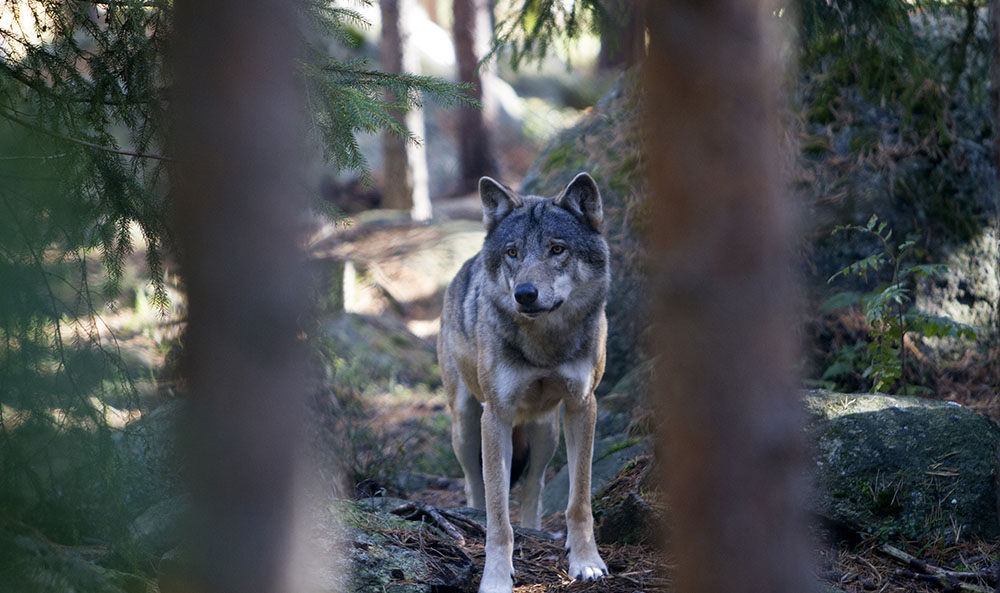 Från 1 februari får länsstyrelserna själva besluta om skyddsjakt på rovdjur. Foto i hägn: Olle Olsson