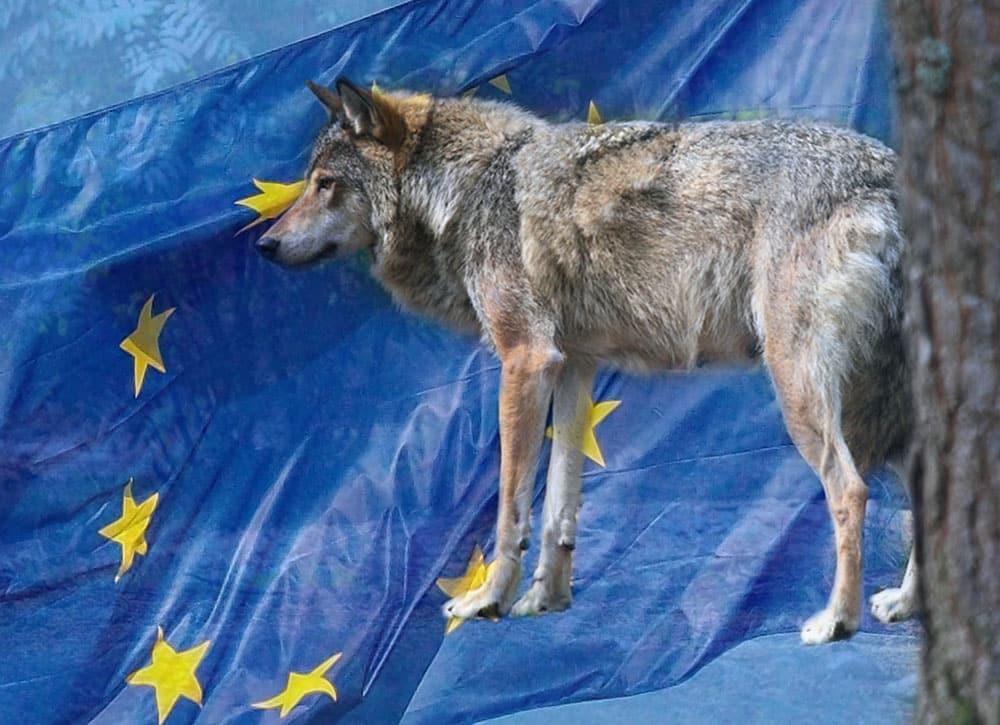 WWF, SNF och Rovdjursföreningen tror att EU-domstolen är deras sista chans att stoppa vargjakten.