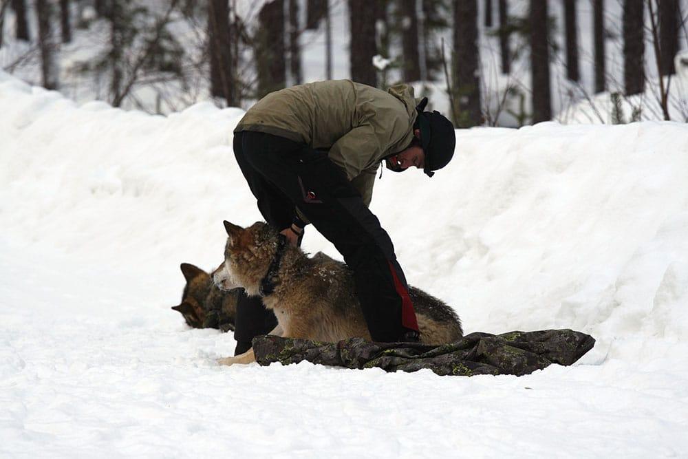 Två vargar förses med GPS-sändare. Foto: Olle Olsson