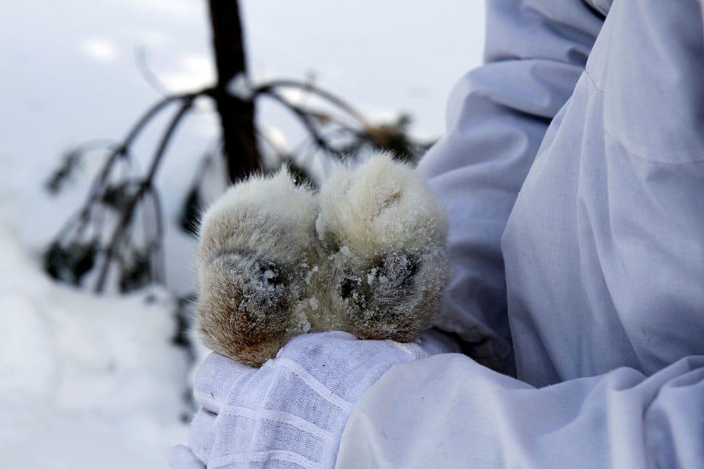 Det blir ingen licensjakt på lodjur inom det mellersta rovdjursförvaltningsområdet. Förklaringen till det är en bristfällig lodjursinventering förra vintern. Foto: Olle Olsson
