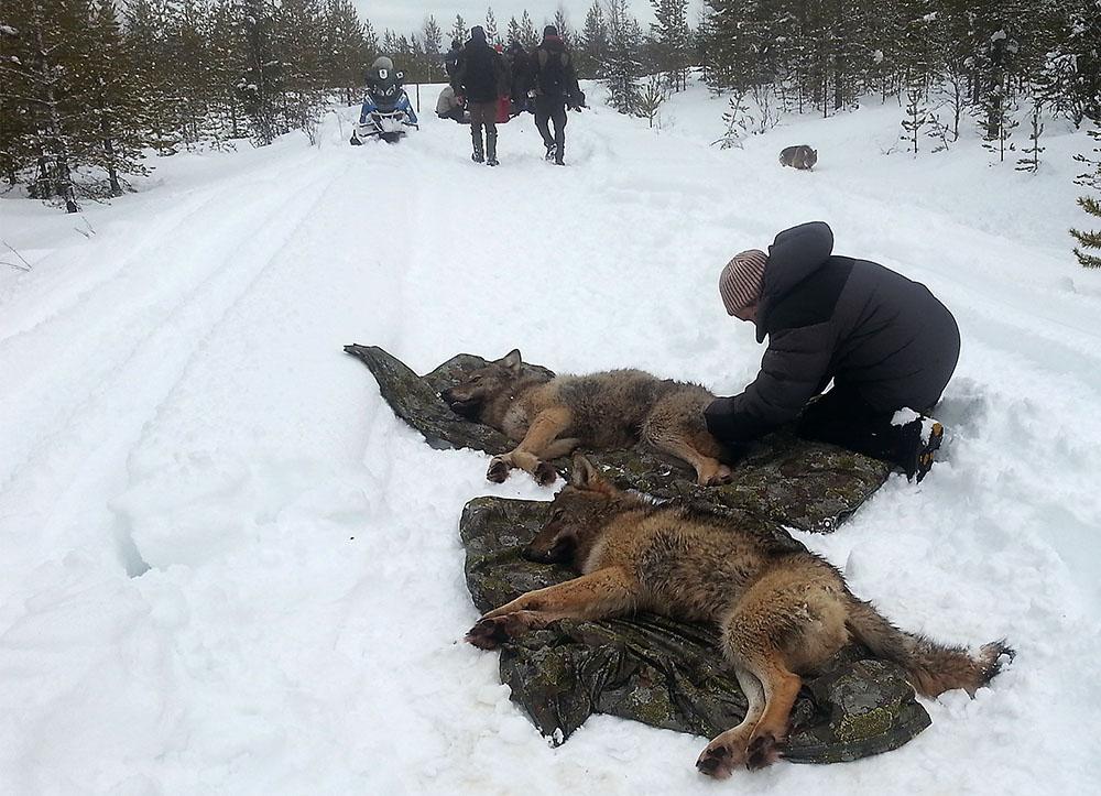 Två av de vargar som Skandulv sövde vid Ulvsjön i måndags. Foto: Lisbeth Sivertsen