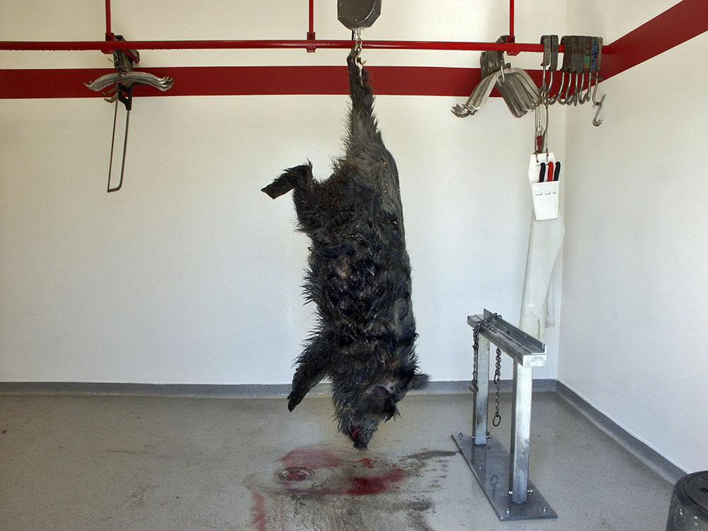 Forskare har upptäckt oväntat mycket matförgiftningsbakterier i vildsvin. Foto: Torsten Mörner