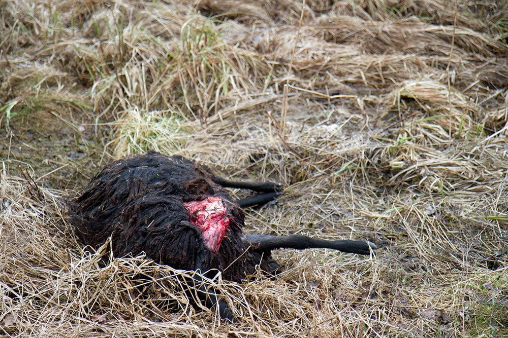 1.535.000 kronor betalades ut under 2013 i ersättning för vargangripna tamdjur. Ytterligare 341.000 kronor betalades ut i ersättning för vargangrepp på hundar. Foto: Olle Olsson