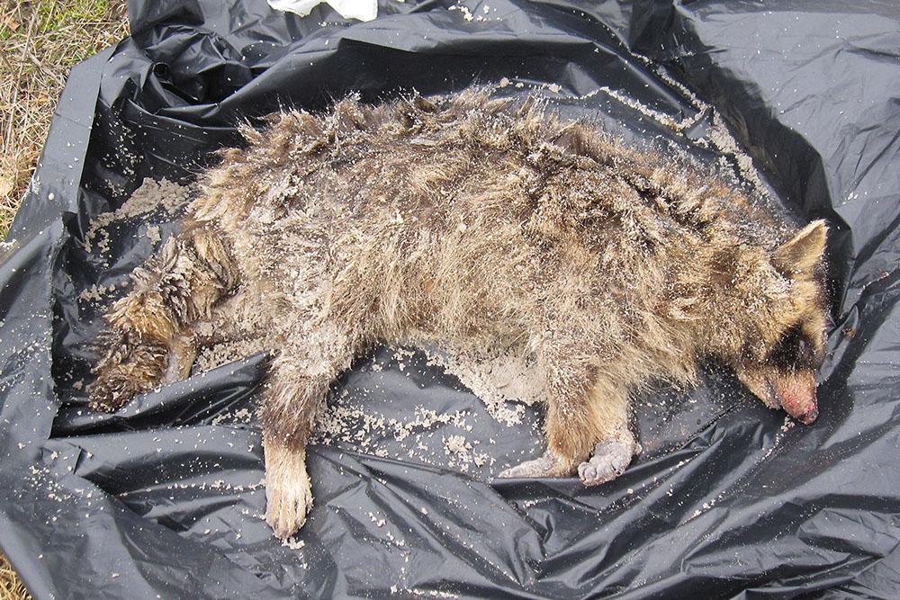 En död tvättbjörn har hittats på stranden i Falsterbo. Foto: Jan-Åke Hillarp