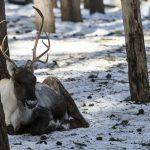 Skogsvildrenen kännetecknas bland annat av att den har något mörkare päls än fjällvildren och dess domesticerade form, tamrenen. Den är också större och har ett längre huvud med större horn. Foto: Olle Olsson