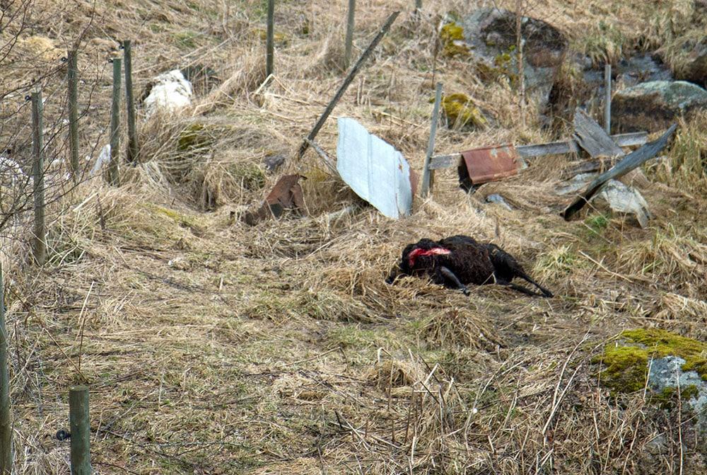 31 augusti 2015 ska Sveriges lantbruksuniversitet slutredovisa regeringsuppdraget om rovdjurens inverkan på landsbygdsföretagens ekonomi. Foto: Olle Olsson