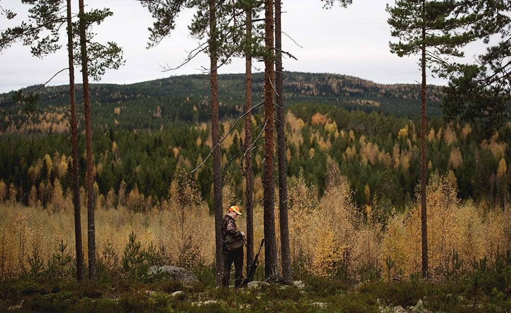Många jägare i Örebro län riskerar att stå utan älgjakt i höst. Anledningen är den mycket täta vargstammen i länet. Foto: Pontus Orre