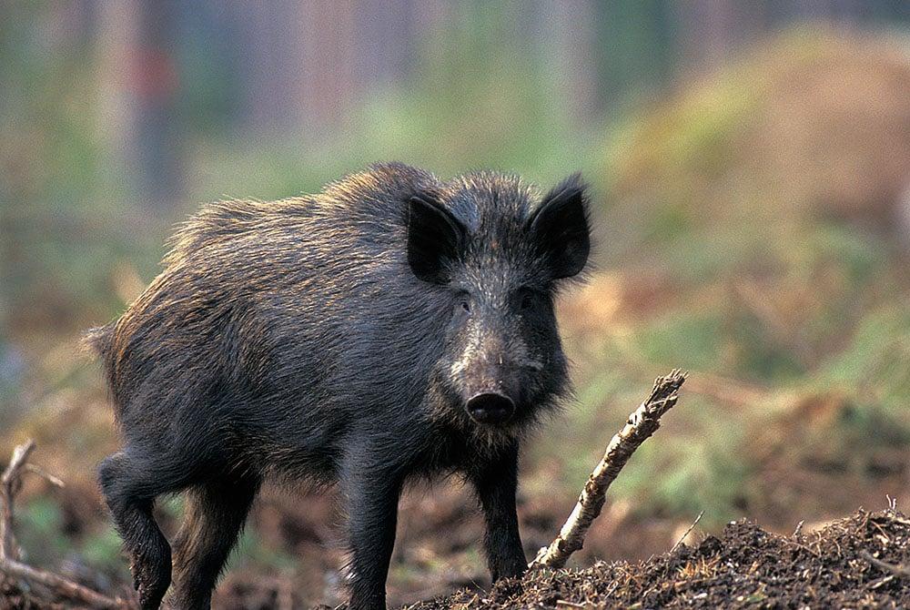 Enligt lag ska trikinkontroll göras av kött från tamsvin, häst, vildsvin och björn, som ska säljas eller ges bort för konsumtion. Foto: Tero Niemi