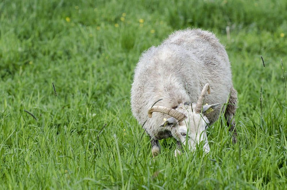 Natten till onsdag dödades 38 får av varg i Hedekas, Västra Götaland. Foto: Martin Källberg