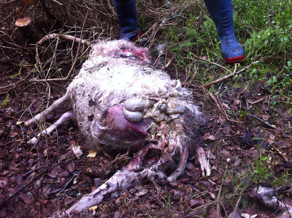 Ett av de får som dödats av björn i Åsteby. Foto: Jerker Brorson