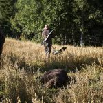 Den här björnen fälldes i Söderhamns kommun. Den var en av totalt fem björnar med trikiner som fälldes i landet förra hösten. Foto: Olle Olsson