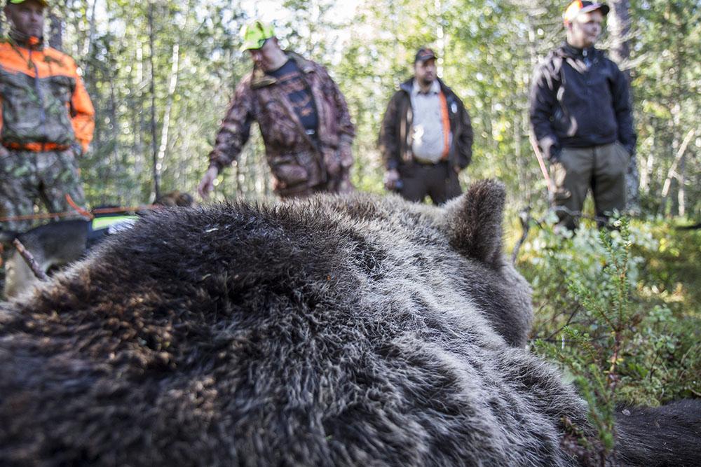 En fin björnhona fälldes på Alfta norra viltvårdsområde. Foto: Olle Olsson