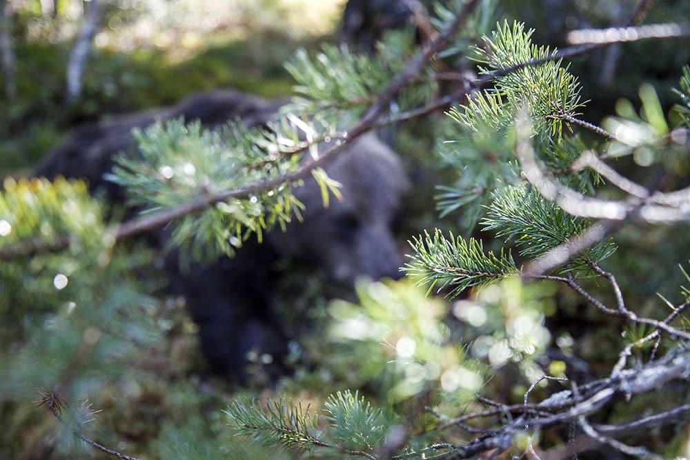 Björnjakten går otroligt snabbt i Gävleborgs län i år. Foto: Olle Olsson