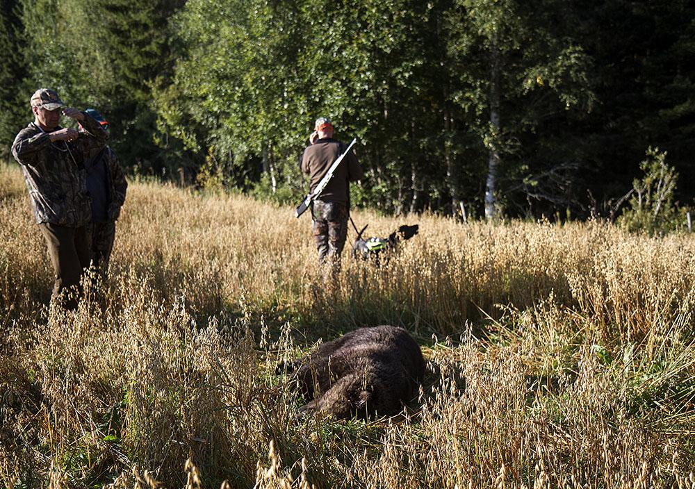 Efter knappt fyra dagar var björnkvoten fylld i Gävleborgs län. Foto: Olle Olsson