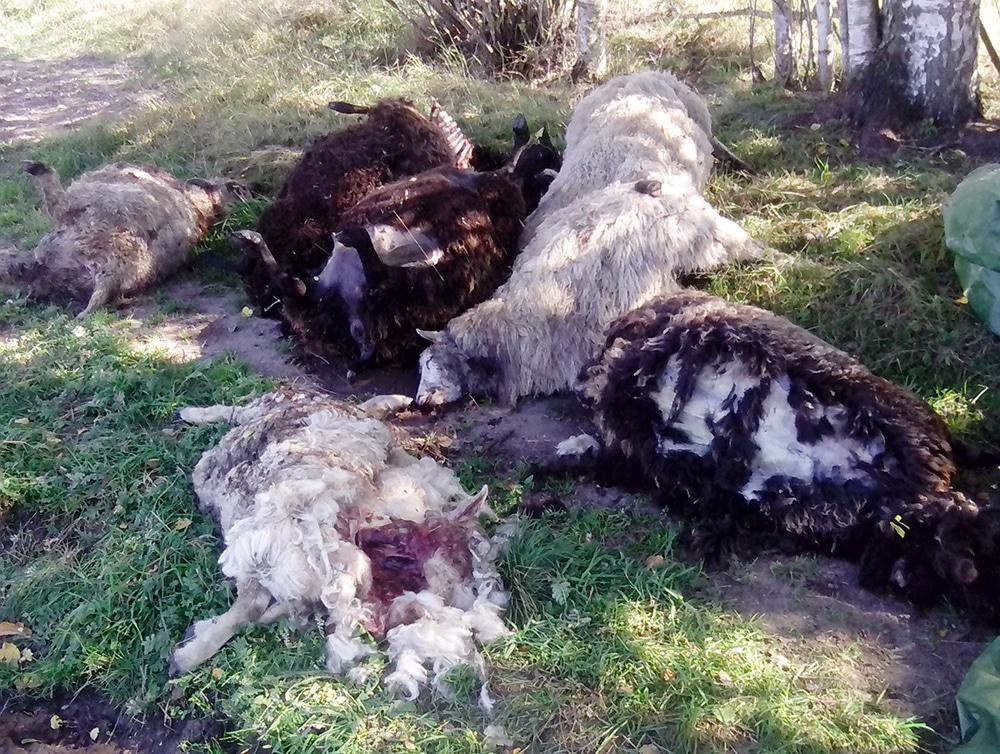 Sannolikt hade vargen tagit sig in i hagen genom att krypa under det rovdjursavvisande stängslet. Väl inne ställde den till en massaker bland fåren. Foto: Privat