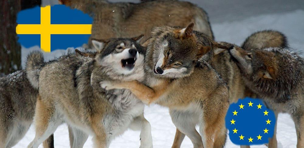 Sveriges regering och EU fortsätter strida om jakten på varg.