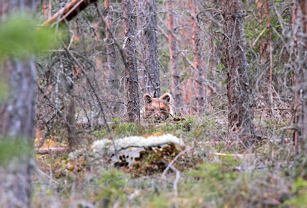 Sju björnar återstår på licensjakten i Dalarna. Foto: Olle Olsson