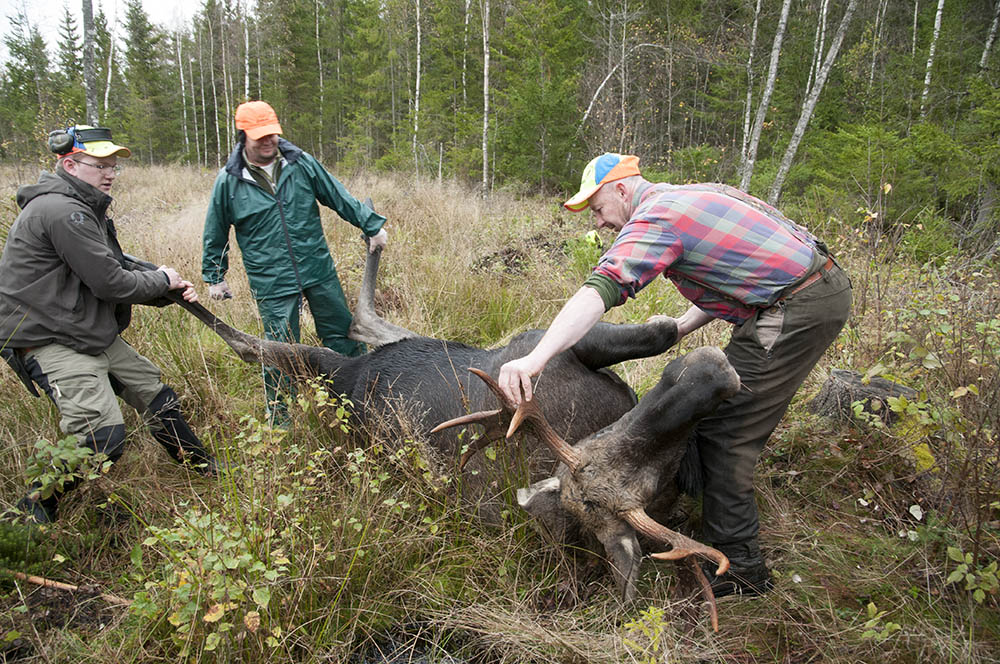 För att hjälpa till i forskningsprojektet ska jägarna ta flera prover i samband med att älgen passas. Foto: Jan Henricson