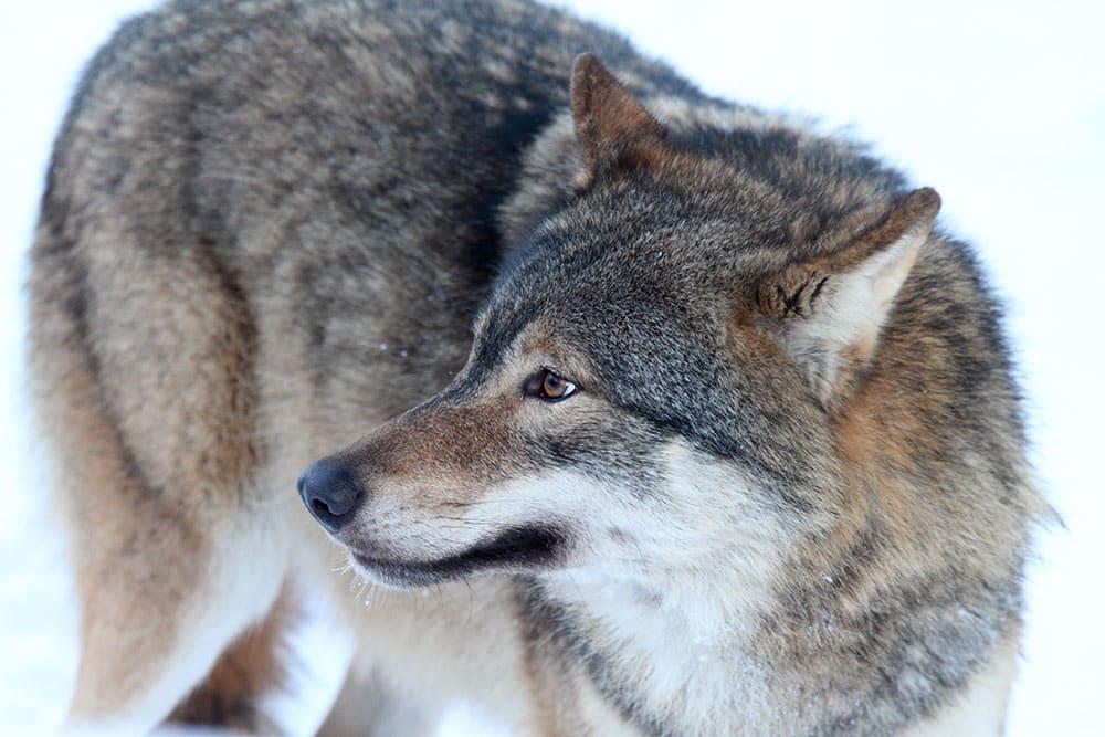 Samverkansrådet i mellersta Sverige ifrågasätter Naturvårdsverkets förslag att miniminivån för varg i mellersta rovdjursförvaltningsområdet ska vara 27 föryngringar, det vill säga hela referensvärdet för gynnsam bevarandestatus. Foto i hägn: Tero Niemi