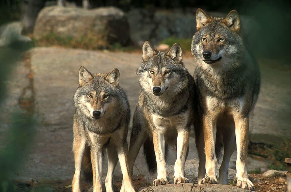 Södra rovdjursförvaltningsområdet rundar viltförvaltningsdelegationer i frågan om miniminivåer för varg. Foto: Tero Niemi (i hägn)