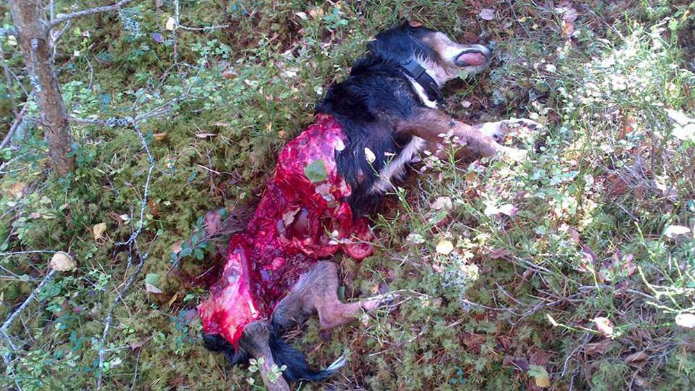 På pejlen syntes hur hunden slutade röra sig, och när jägarna sökt sig fram till platsen möttes de av den här synen. Foto: Privat
