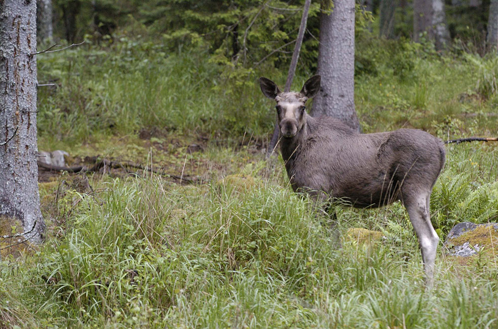 Älgar som lever i områden med varg avviker inte från sådana som inte gör det vad gäller valet av habitat. Foto: Jan Henricson