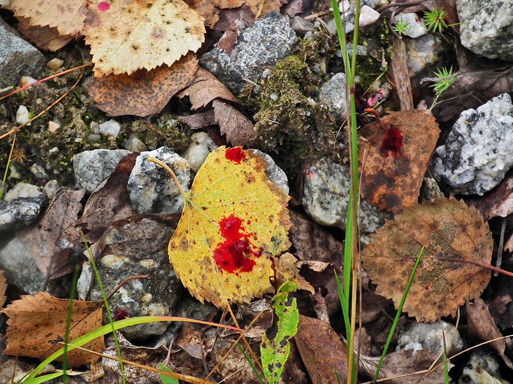 Den lätt metalliska doften av blod är upphetsande för rovdjur men hotfull för bytesdjur. Foto: Malou Kjellsson