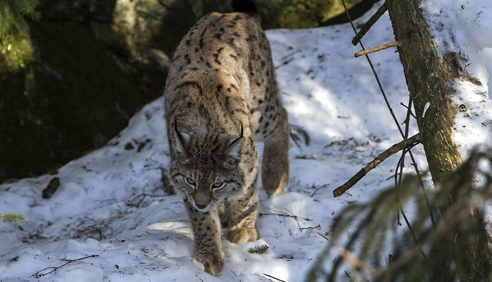 Länens viltförvaltningsdelegationer har arbetat med att ta fram miniminivåer för lodjur men Naturvårdsverket tog ingen hänsyn till dessa. Foto: Olle Olsson