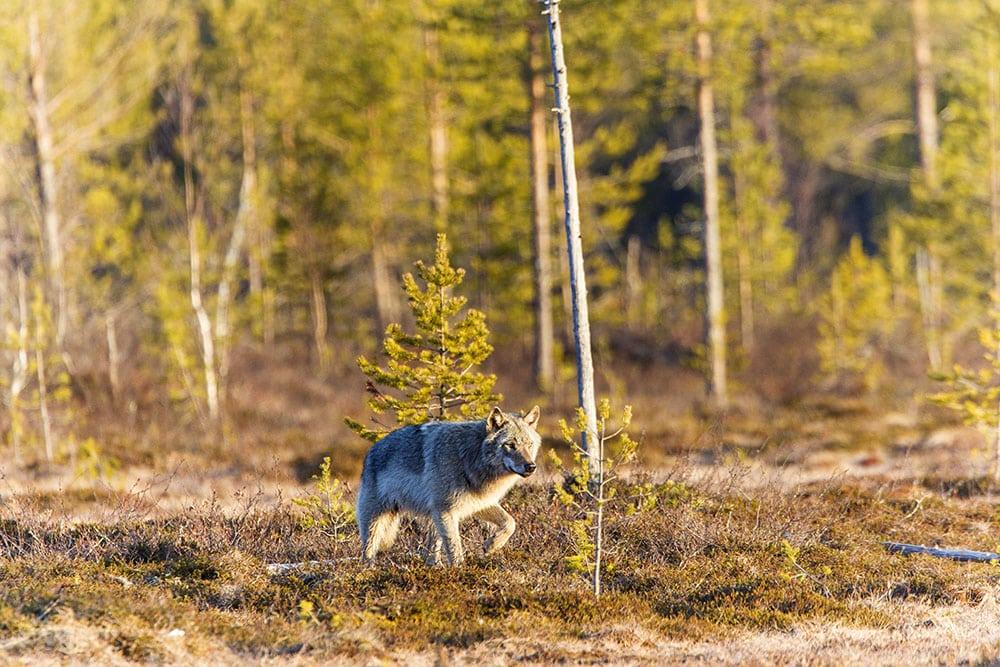 Älgjägaren som sköt en varg i Dalarna i oktober kommer inte att åtalas. Foto: Kjell-Erik Moseid