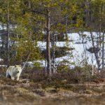 Vargjakten är åter hotad efter att förvaltningsrätten i Stockholm kommit med en dom som säger att förra vinterns jakt var felaktig. Foto: Kjell-Erik Moseid
