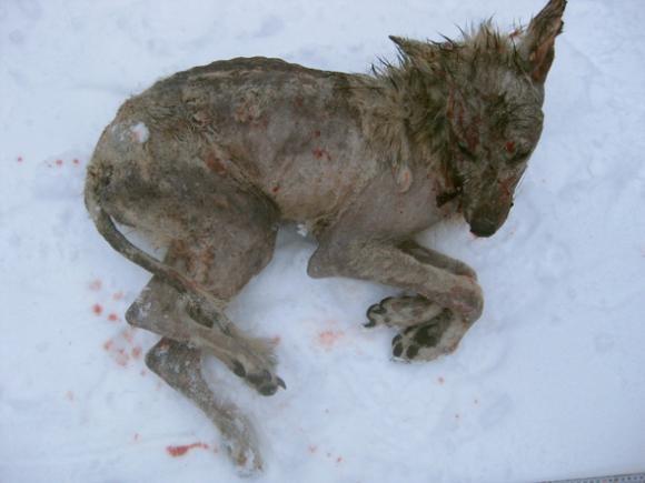 En fälld varg i Örebro län var svårt skabbangripen. Foto: Länsstyrelsen